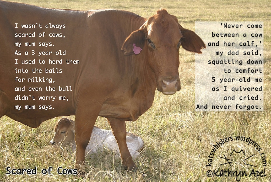 Uncategorized Cow Poems poetry friday come lately kathryn apel scared of cows a poem